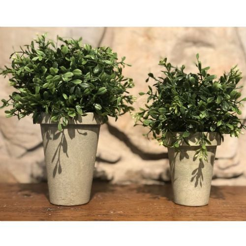Potted Boxwood (Small)