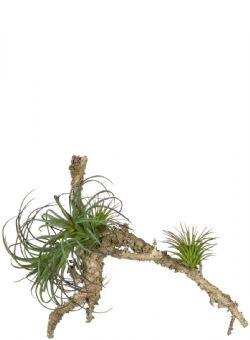 Air Grass Plant