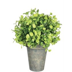 Potted Maiden Hair Fern (Small)
