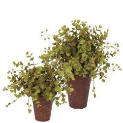 Potted Eucalyptus   2 Sizes