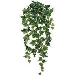 Ivy Bush Variegated