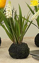 Grape Hyacinth Root Ball